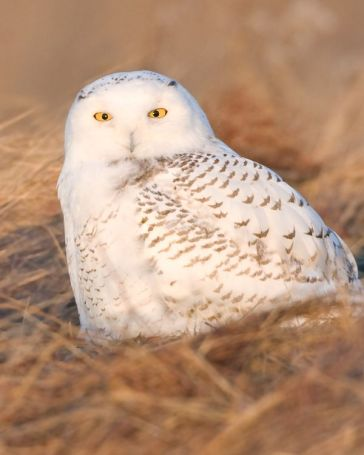 435855929_00looking_1SnowyOwl_srgb
