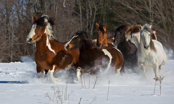 Spanish Mustang - Johnson, Vermont